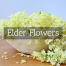 Elderflower-t-Medicinal Tea-Herbaria
