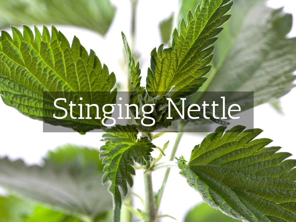Stinging Nettle-t-Medicinal Tea-Herbaria