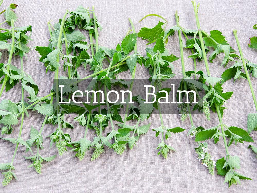 Lemon Balm-Medicinal Tea-Herbaria