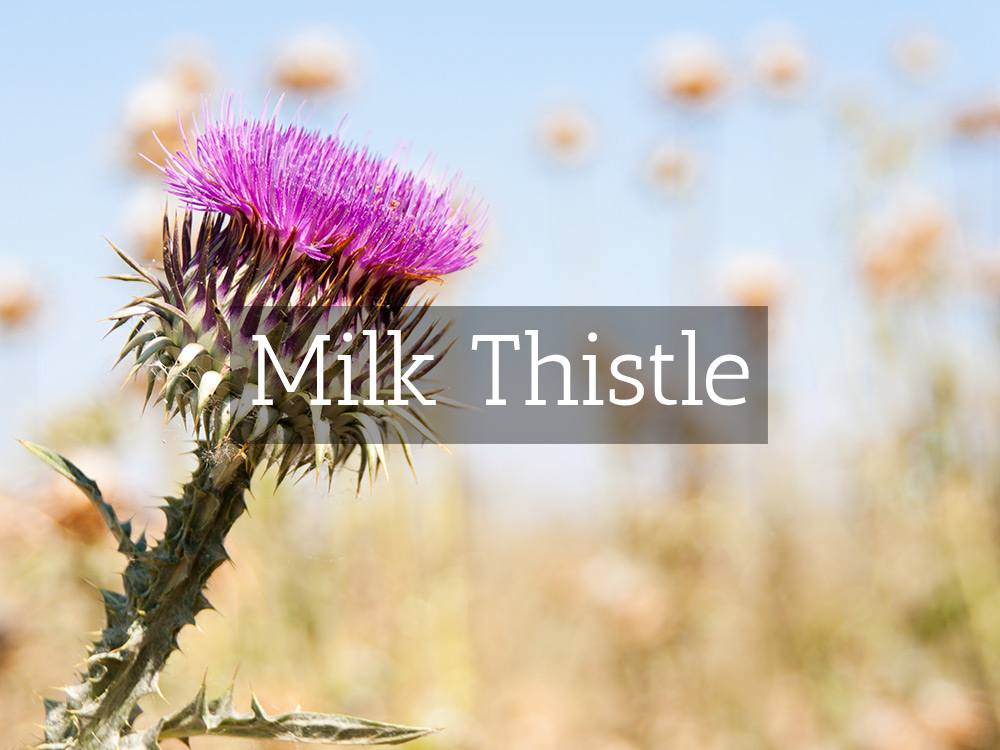 Milk Thistle-Medicinal Tea-Herbaria