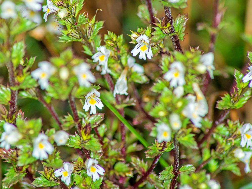 Herbaria-Herbal-Teas-Eyebright-bg