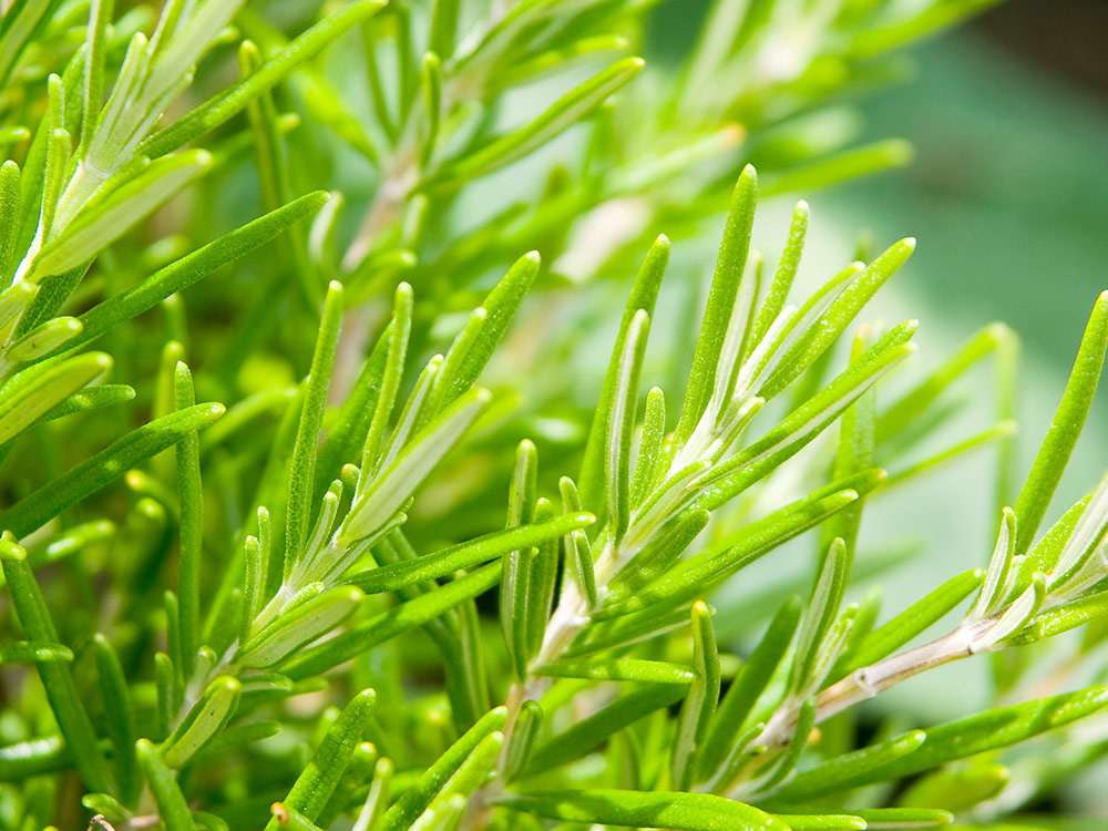 Herbaria-Herbal-Teas-Rosemary-bg