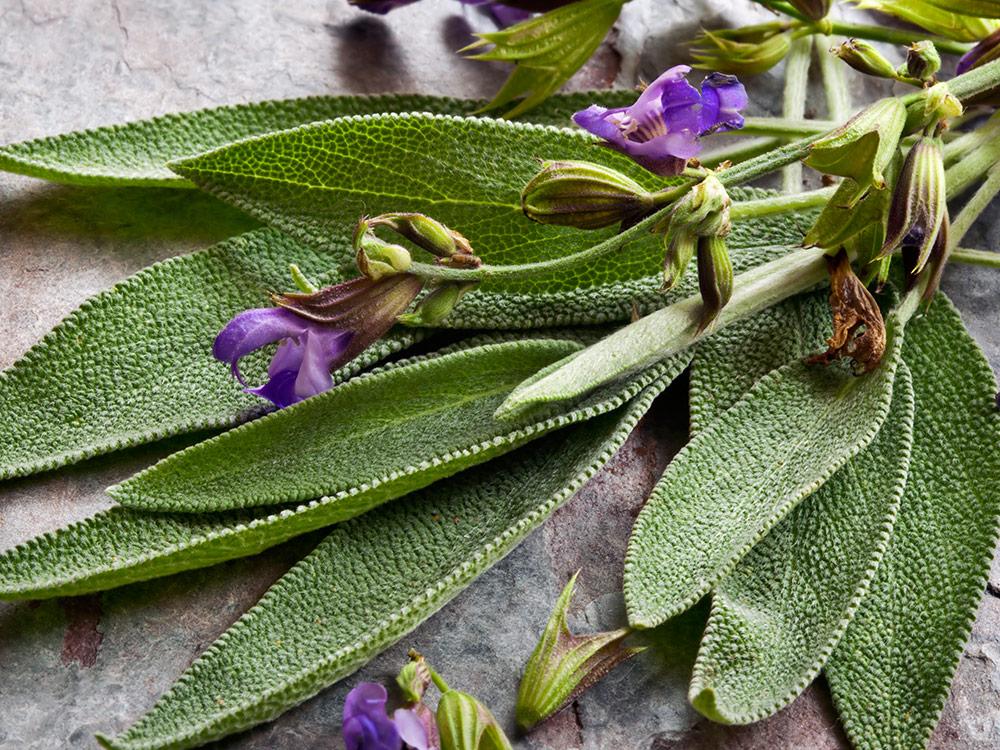 Herbaria-Herbal-Teas-Sage-bg