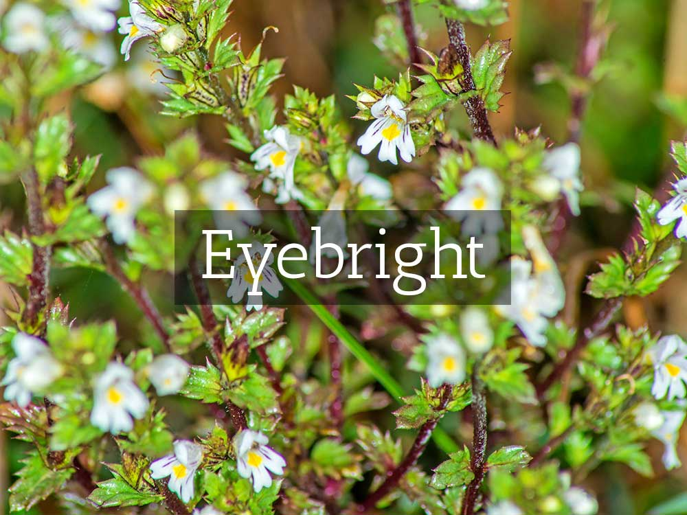 herbaria-herbal-teas-eyebright