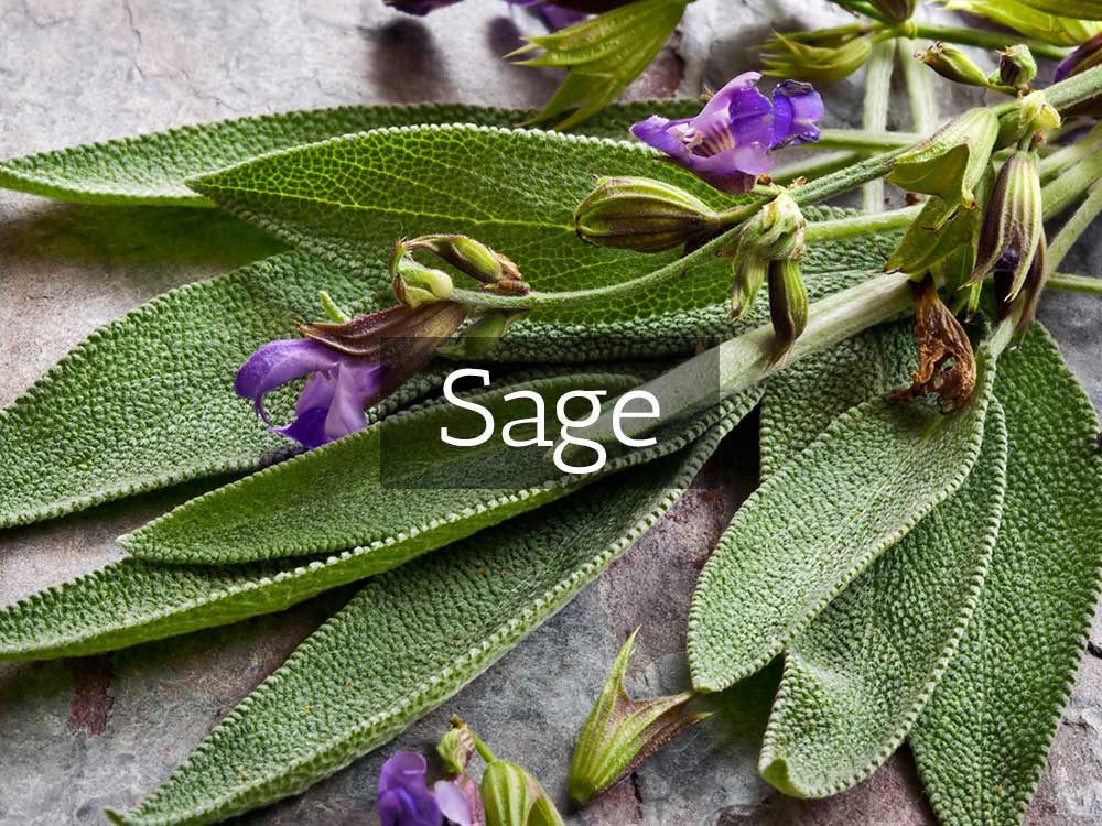 Sage (Salvia Officinalis) – Herbaria North America
