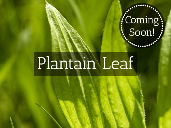 Herbaria-Herbal-Teas-plantain-leaf-coming-soon-thumbnail