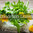 Dandelion Leaves Medicinal Tea-Herbaria