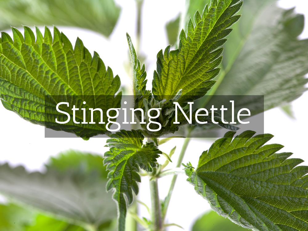 Stinging Nettle-t-Medicinal Tea-Herbaria
