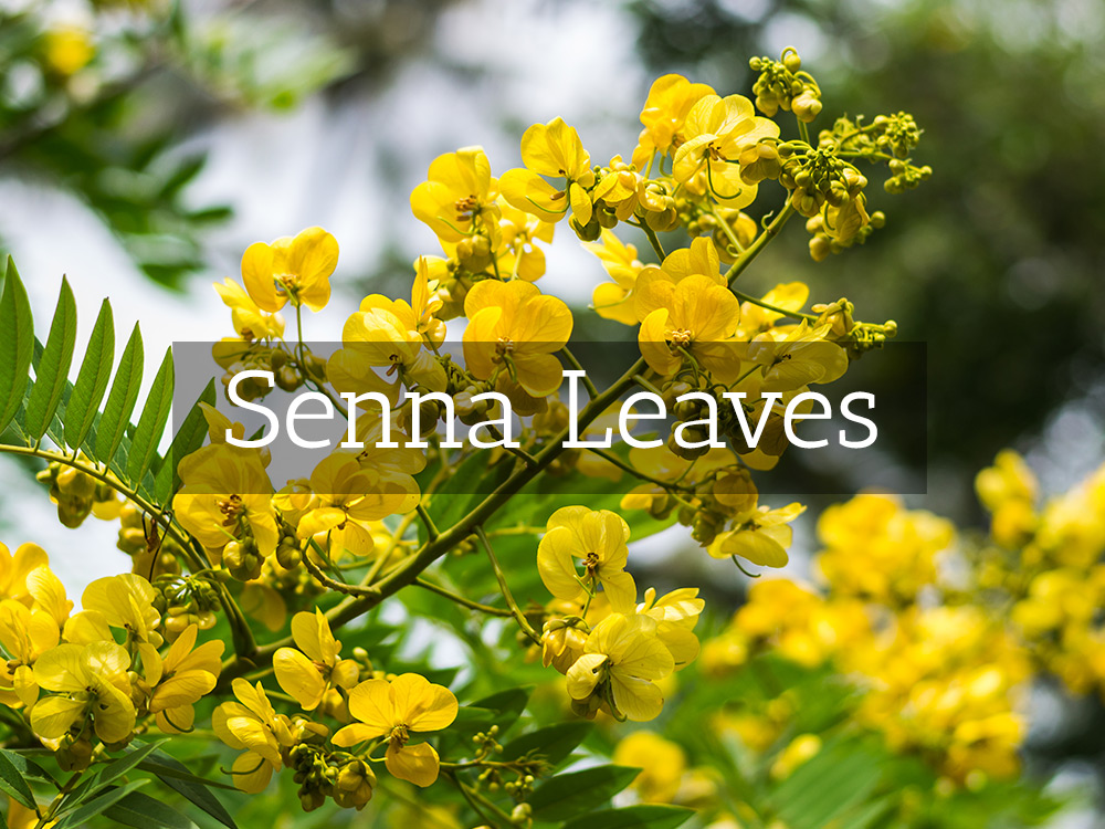 Senna Leaves-Medicinal Tea-Herbaria