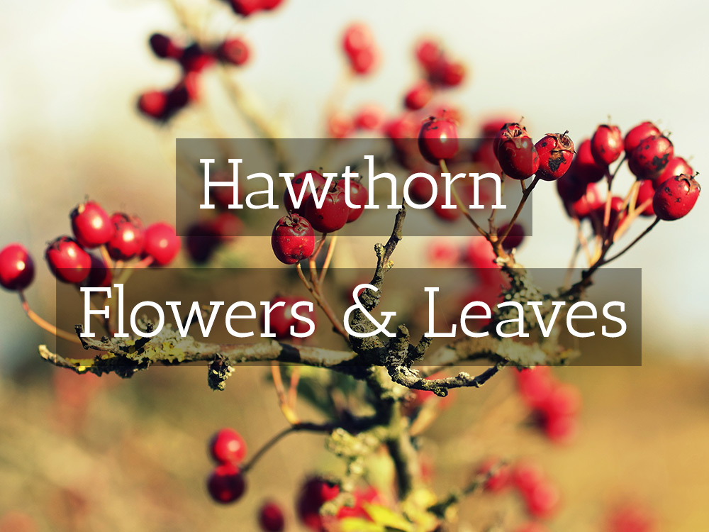 hawthorn-flowers-t-Medicinal tea-Herbaria