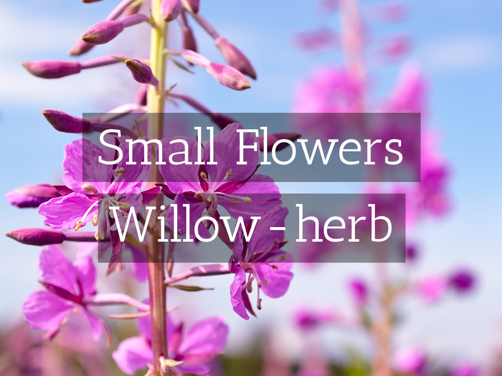 Willow-herb-t-Medicinal tea-Herbaria
