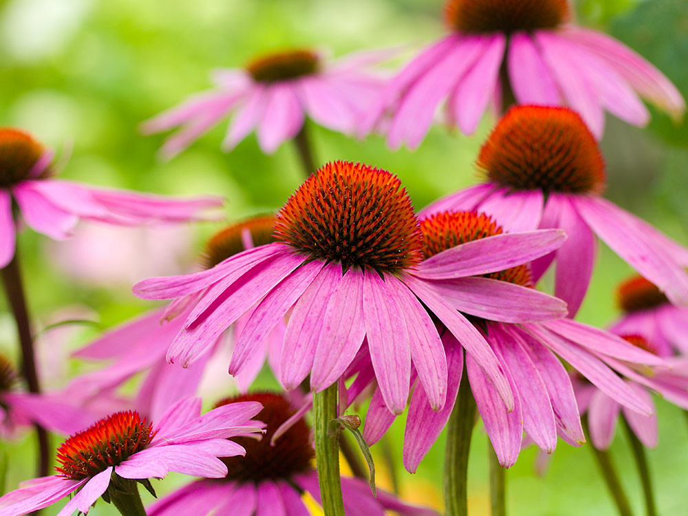 Herbaria-Herbal-Teas-Echinacea-bg