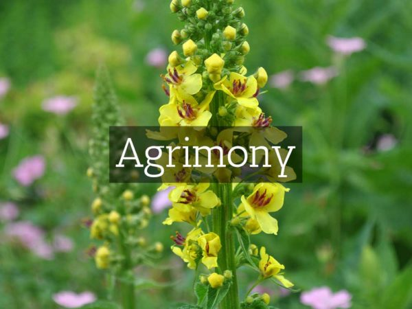 herbaria-herbal-teas-agrimony