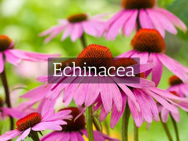 herbaria-herbal-teas-echinacea