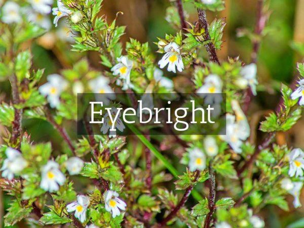 herbaria-herbal-teas-eyebright