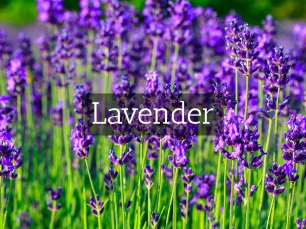 herbaria-herbal-teas-lavender
