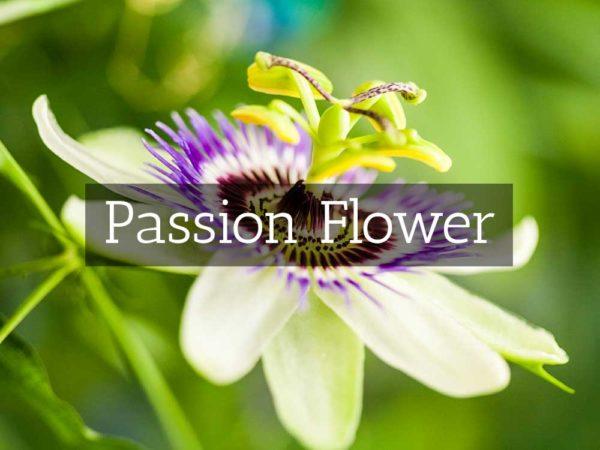 herbaria-herbal-teas-passion-flower