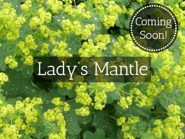 Herbaria-Herbal-Teas-lady's-mantle-coming-soon-thumbnail
