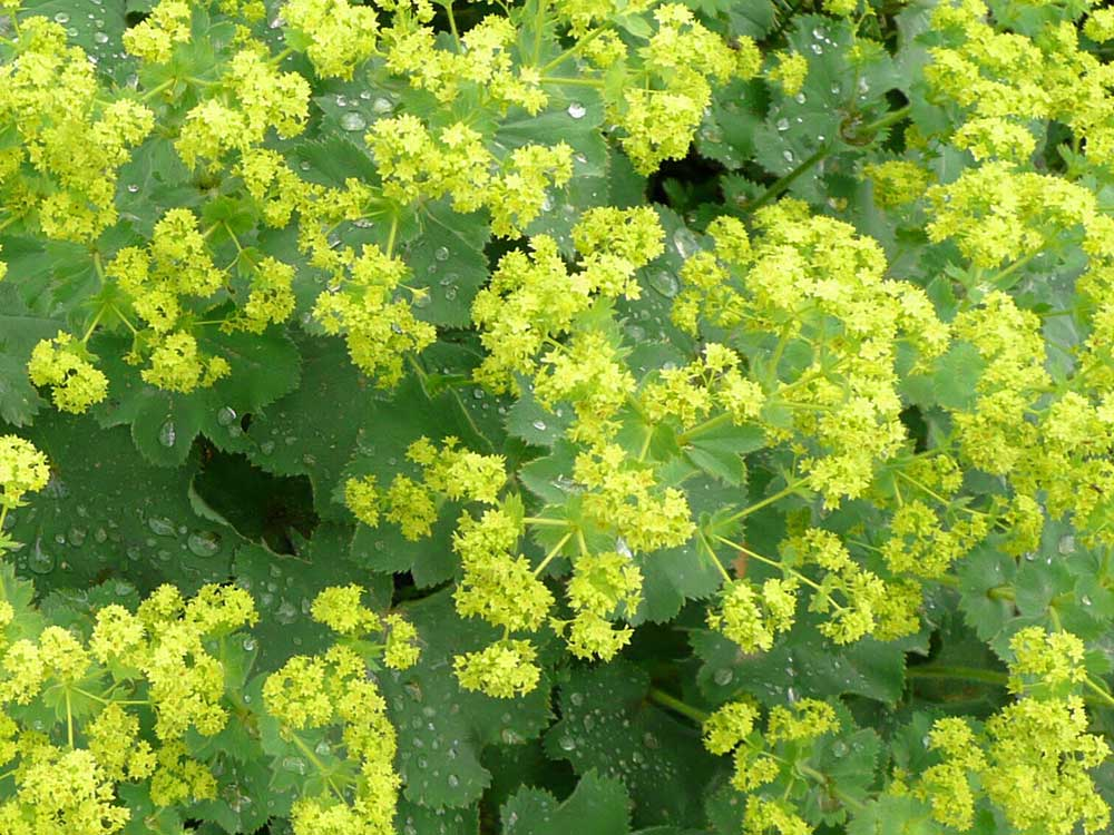 Herbaria-Herbal-Teas-Lady's-mantle-coming-soon-bkg