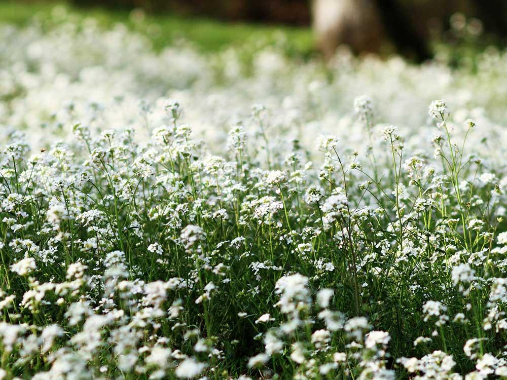 Herbaria-Herbal-Teas-shepherds-purse-coming-soon-bkg